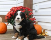 Nancy - Bernese Mountain Dog Puppy for Sale