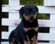 Ranger - Rottweiler Puppy for Sale