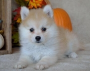 Jackie!! - Pomsky Puppy for Sale