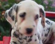 Willey - Dalmatian Puppy for Sale