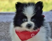 Beau - Pomeranian Puppy for Sale