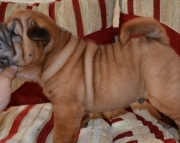 Chinese Sharpei, Shar-pei puppy for sale