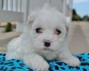 Cotton - Maltese Puppy for Sale
