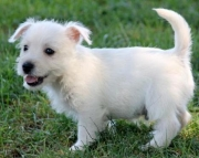 Ricky - West Highland White Terrier Puppy for Sale