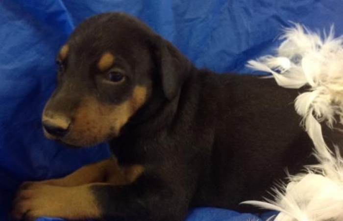 Buster Doberman Pinscher Puppy For Sale Handmade Michigan