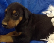 Buster - Doberman Pinscher Puppy for Sale