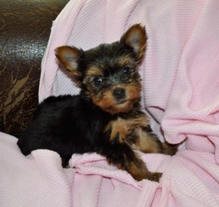 FeeFee - Yorkshire Terrier Puppy for Sale