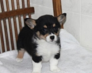 Dixie - Welsh Corgi (Pembroke) Puppy for Sale