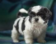 Curtiss - Shih Tzu Puppy for Sale