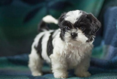 Curtiss - Shih Tzu Puppy for Sale