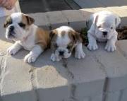 Two cute english bulldog puppies 971x231x5532
