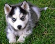 Sexy Blue Eyes Siberian Husky Pups 971x231x5532