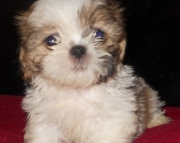 Pure Breed Shih Tzu Pups 971x231x5532