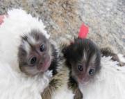 thtfgy Marmoset Monkeys