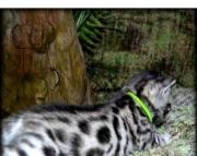 knndb Bengali Kitten for sale