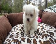 fbhbrb Maltese puppies for sale