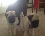 hgvybu Pug puppies for sale