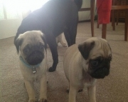 nyfm Pug puppies, girls and boys