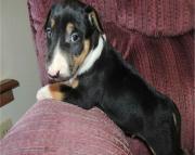 hdhfyfyn American Pitbull puppies for sale