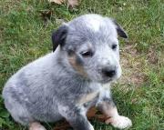 Helpful Australian Cattle Dog Puppies For Sale