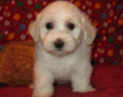 Exceptional Havanese Puppies For Sale