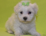 Remarkable Maltese Puppies For Sale