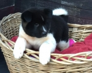 Enthusiastic Akita Puppies For Sale