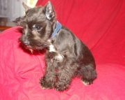Honorable Miniature Schnauzer Puppies For Sale