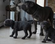Meek Neapolitan Mastiff Puppies For Sale