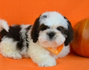 Reliable Lhasa Apso Puppies For Sale