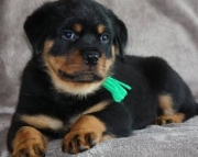 Clever Rottweiler Puppies For Sale