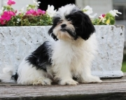 Pure Shih Tzu Puppies For Sale