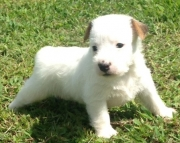 House Jack Russell Terrier Puppies For Sale