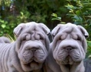 Grate Chinese Shar-Pei Puppies For Sale