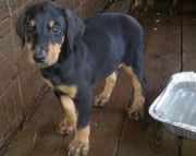 Accommodating Doberman Pinscher Puppies For Sale
