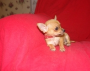 Exemplary Chihuahua Puppies For Sale