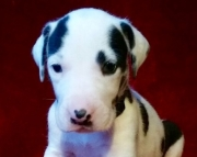 Terrific Great Dane Puppies For Sale