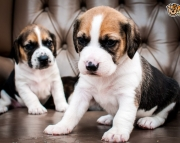 Talented Beagle puppies 505x652x7165