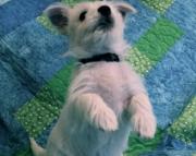AKCWest Highlander puppies for sale