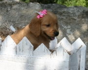 Lovely Golden Retriever puppies for sale 505x652x7165