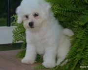 Bichon Frise puppies for sale 505x652x7165