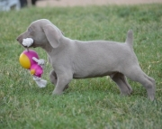 Weimaraner puppies for sale  505x652x7165