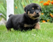 Clean Rottweiler puppies for sale 505x652x7165