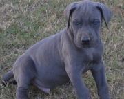 INGS Great Dane Puppies ready for sale 505x652x7165