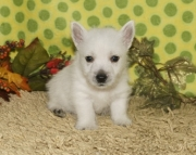 West Highlander puppies for sale  505x652x7165