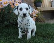 Optimistic Dalmatian Puppies For Sale