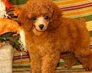Dazzling Top Poodle Puppies for Sale