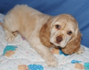 Responsible Cocker Spaniel Puppies For Sale