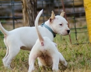 Faithful Dogo Argentino Puppies For Sale