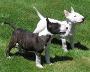 Sensational Bull Terrier Puppies For Sale